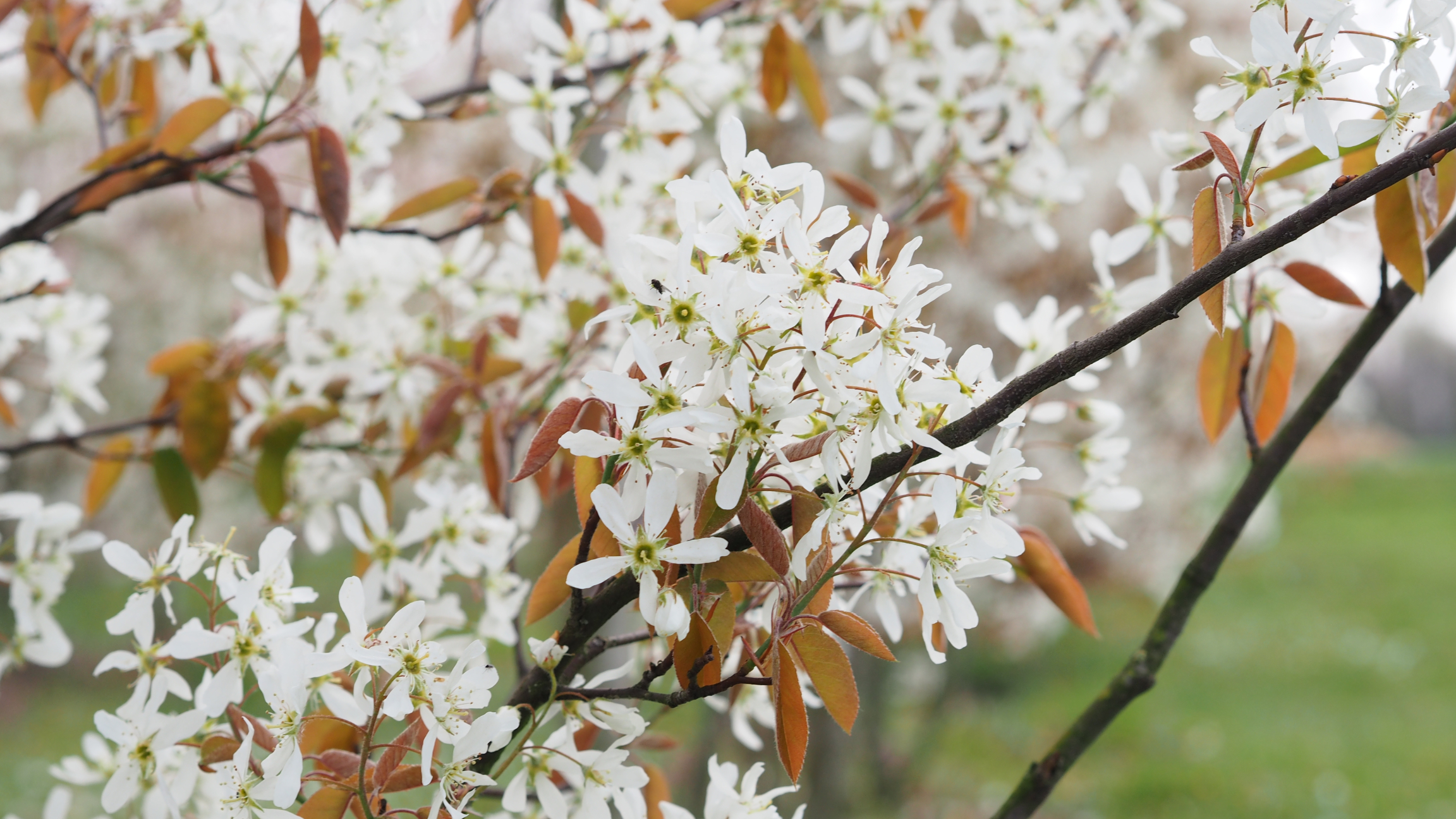 amelanchier arborea 39robin hill39 juneberry green words. Black Bedroom Furniture Sets. Home Design Ideas