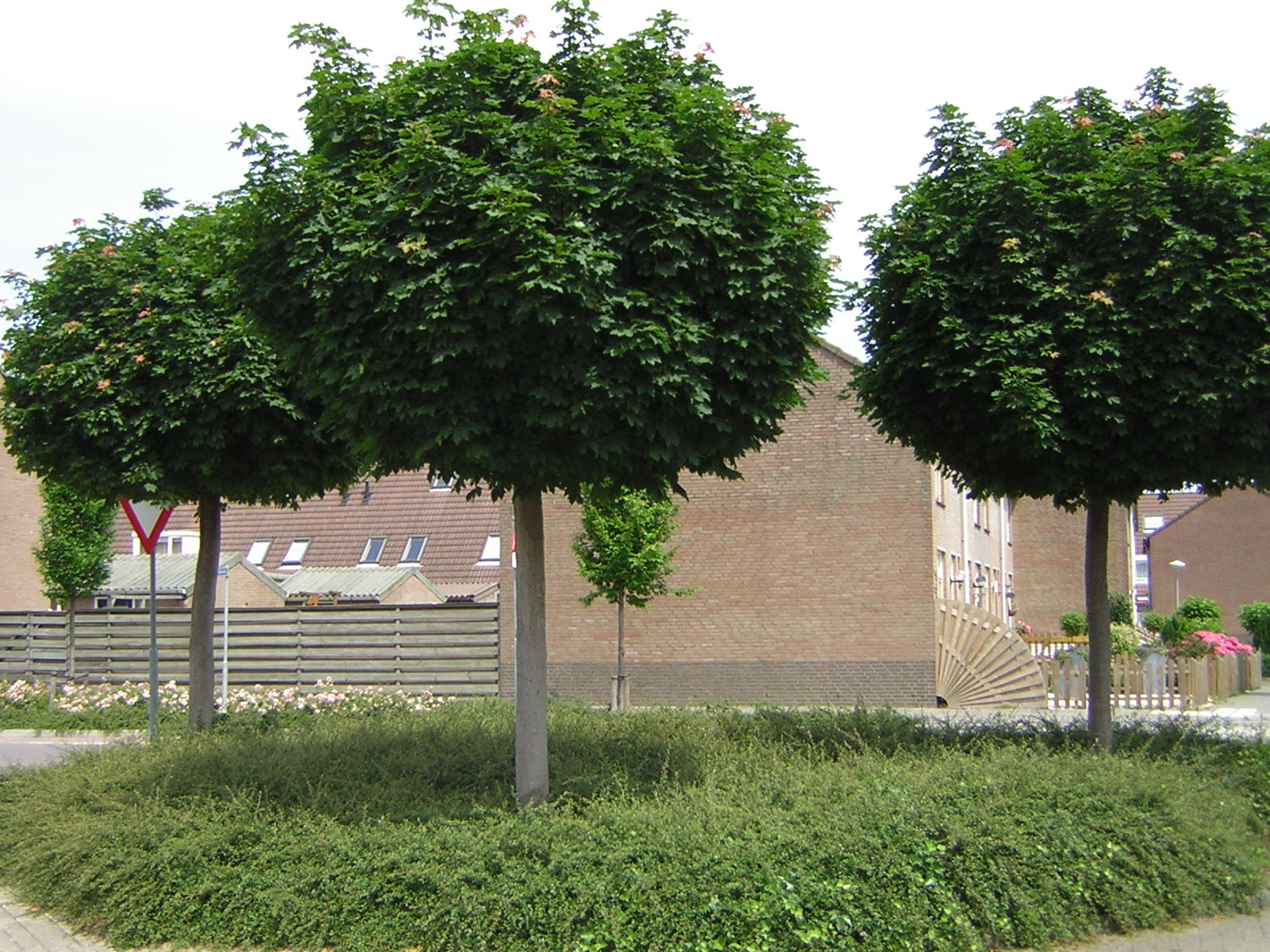 udenhout trees acer platanoides 39 globosum 39. Black Bedroom Furniture Sets. Home Design Ideas