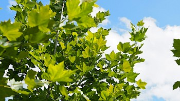 Platanus hispanica 'Louisa Lead'
